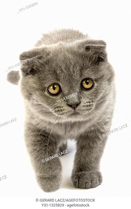 BLUE SCOTTISH FOLD CAT, 2 MONTHS OLD KITTEN AGAINST WHITE BACKGROUND