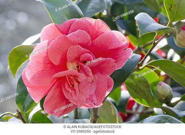 Camellia japonica 'Gloire de Nantes' Obtenteur : Guichard (FRA) 1894
