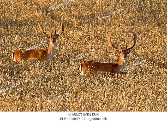 Two fallow deer (Dama dama) bucks with antlers covered in velvet in wheat field in summer