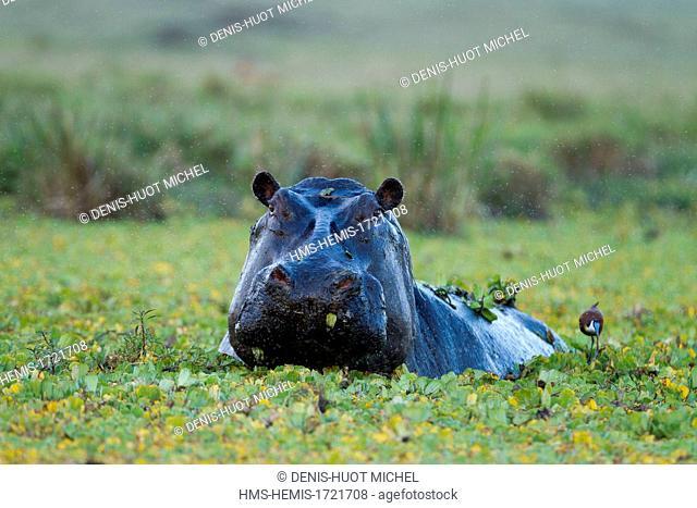 Kenya, Masai-Mara game reserve, Hippopotamus (Hippopotamus amphibius), male in a pound during the rains