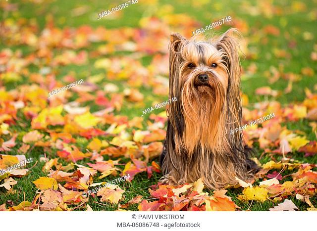 Fall color leaves and little dog