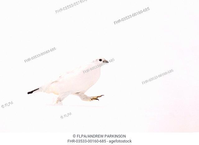 Rock Ptarmigan Lagopus mutus adult female, white winter plumage, running across snowfield, Cairngorm Mountains, Highlands, Scotland, february