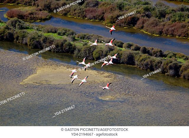 Pink Flamingos (Phoenicopterus ruber), flying over Es Solabrar of Campos in Colonia Sant Jordi, Sese Salines, Mallorca, Balearic Island, Spain