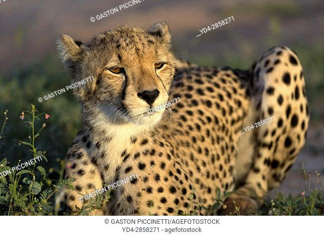Cheetah (Acinonyx jubatus) - Young, Kgalagadi Transfrontier Park, Kalahari desert, South Africa/Botswana