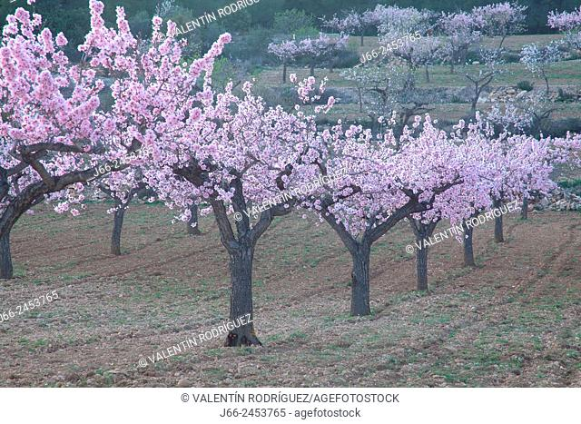 Almond blossom in Alcublas. Natural Park Alto Turia. Valencia. Spain