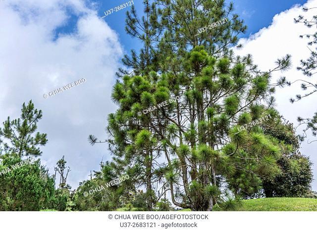 Trees at Borneo Highland Resorts, Kuching, Sarawak, Malaysia