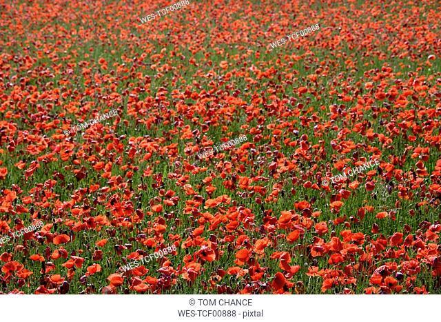 Germany, Bavaria, Neufahrn, Poppy field Papaver rhoeas