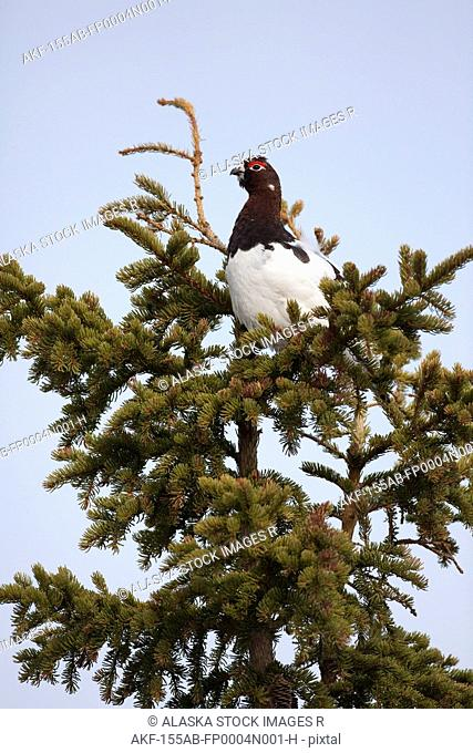 Male Willow ptarmigan sitting in Spruce tree with plumage beginning to turn from white to its summer colors, Interior Alaska