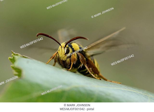 Hornet moth on a leaf