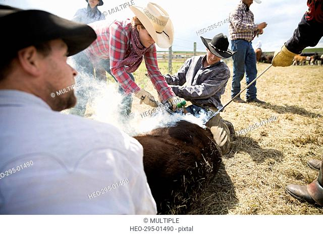 Cattle ranchers branding cow
