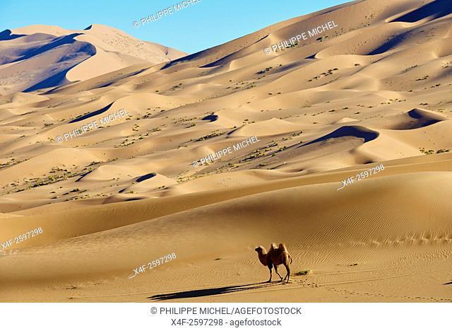 China, Inner Mongolia, Badain Jaran desert, Gobi desert, bactriane camels