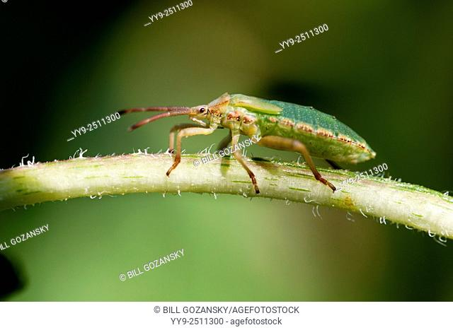 Green Stink Bug or Green Soldier Bug (Chinavia hilaris) - North Carolina Arboretum - Asheville, North Carolina, USA