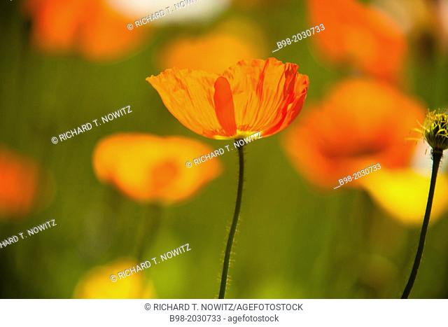 Papaveraceae flowers or 'poppy'' flowers are backlit in Pasadena, California.	1015