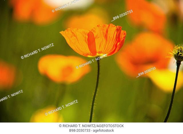 Papaveraceae flowers or 'poppy'' flowers are backlit in Pasadena, California.1015