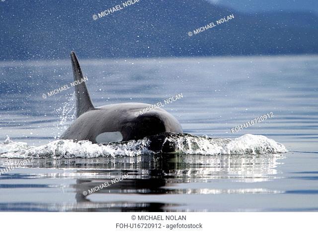 Orca Orcinus orca Female surfacing head on. Southeast Alaska, USA. Pacific Ocean