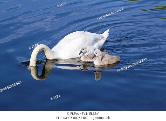 Mute Swan (Cygnus olor) adult male with two cygnets, male with head submerged, swimming, Copenhagen, Denmark, May