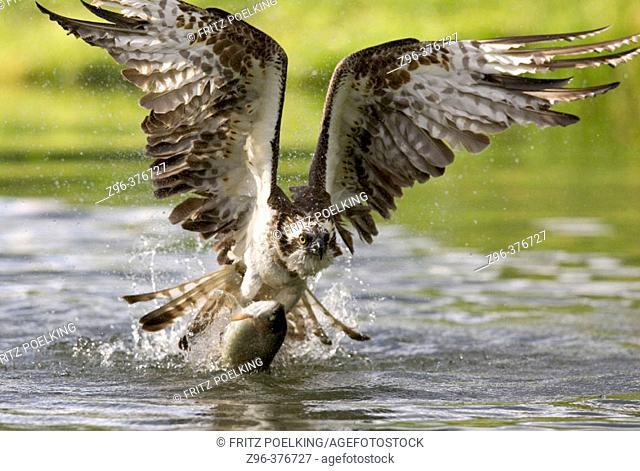 Osprey (Pandion haliaetus). Finland