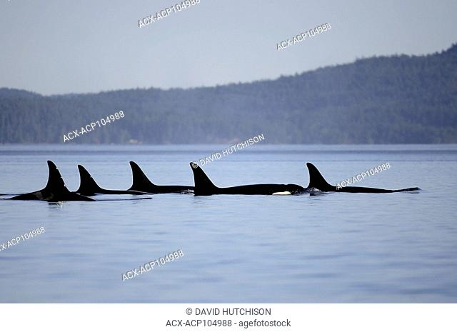 L pod of Orca whales photographed at Boundary Pass near Georgia Straight,Vancouver Island, BC Canada