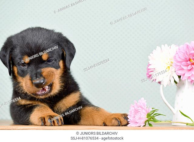 Rottweiler. A puppy (5 weeks old) lying next to dahlia flowers. Studio picture. Germany