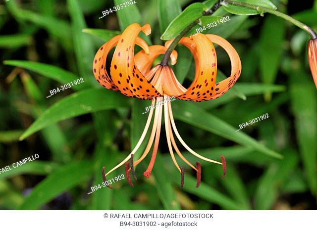 Garden. Flower of Lilium. Liliaceae. Andorra. Europe