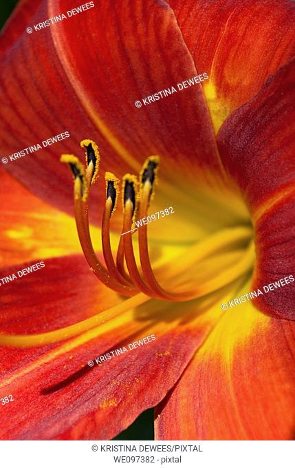 A deep red Dayliliy in full bloom with the focus on the anthers