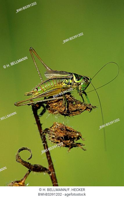 Roesel's bushcricket (Metrioptera roeselii), male on influrescence, background green, Germany