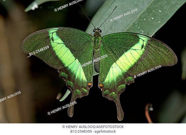 Banded Peacock ( Papilio palinurus), Thailand