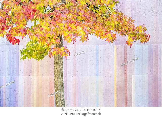 tree bearing autumn leaves in front of pastel colored wall, stuttgart, baden-wuerttemberg, germany