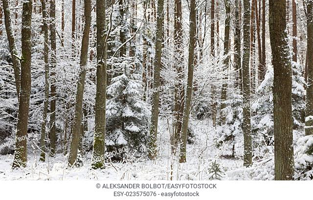 Winter landscape of natural forest with dead spruce tree trunks lying, Bialowieza forest, Poland