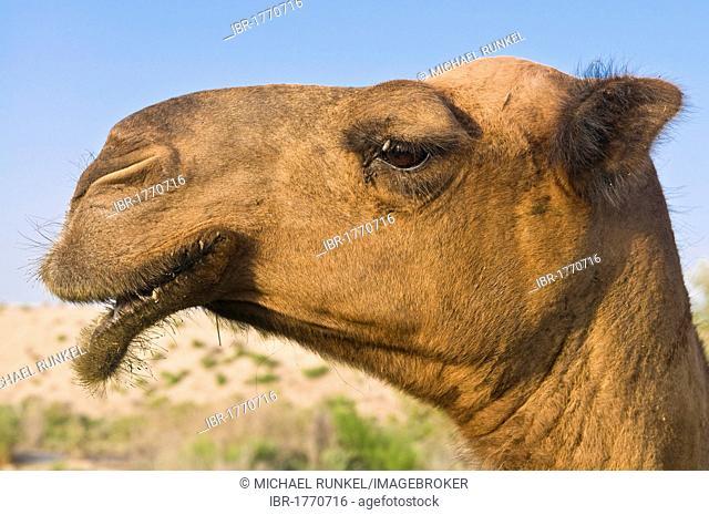 Camel, portrait, Merv, Turkmenistan, Central Asia