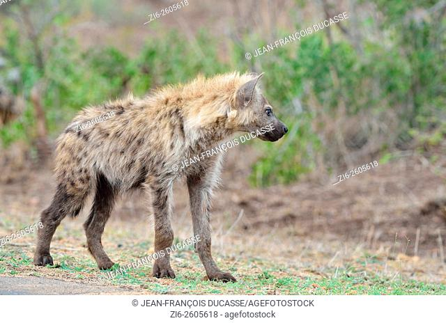 Spotted hyena (Crocuta crocuta), young male, standing at the edge of the road, Kruger National Park, South Africa, Africa