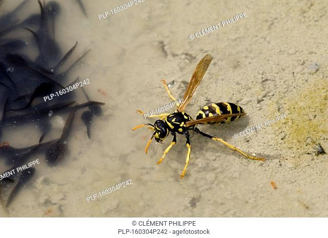 European paper wasp (Polistes dominula) drinking water in little pool filled with tadpoles