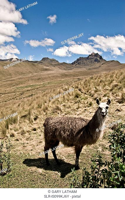 Llama, Pichincha and summit of Cruz Loma, Quito, Ecuador