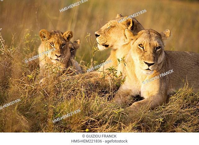 Botswana, North-west district, Chobe National Park, Savuti arid region, lionesses