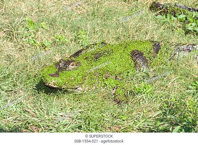 American alligator Alligator mississippiensis on grass, Florida, USA