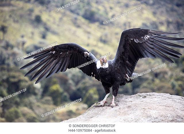 South America, Latin America, Colombia, bird, Condor, Purace, national park