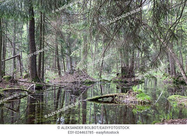 Natural swampy forest at springtime with old alder tree in foreground,Bialowieza Forest,Poland,Europe