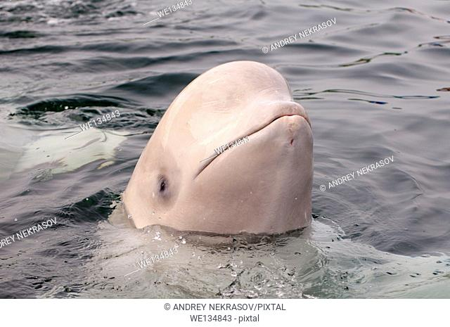 beluga whale or white whale (Delphinapterus leucas) Sea of Japan, Far East, Primorye, Primorsky Krai, Russia
