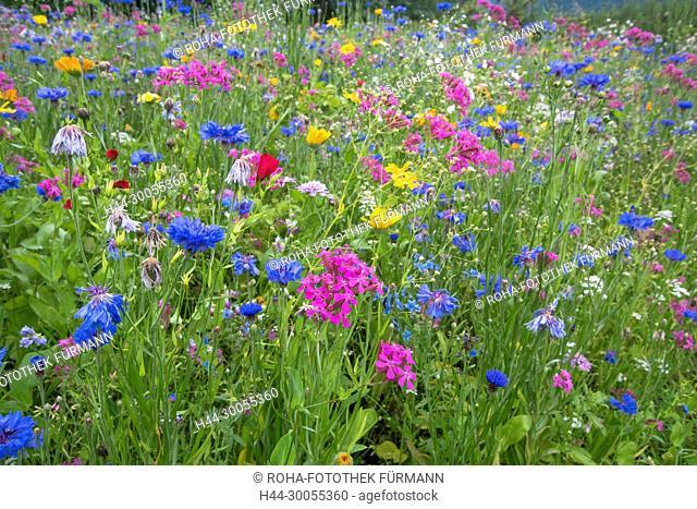 Bayern, Oberbayern, Teisendorf, Karlsbach, Wörlach, Woerlach, Blumenwiese, Wiese, Blumen, bluehend, blühend
