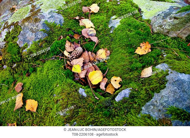 france,yvelines,chevreuse valley : rambouillet forest, pine needles, autumn leaves and moss on rock