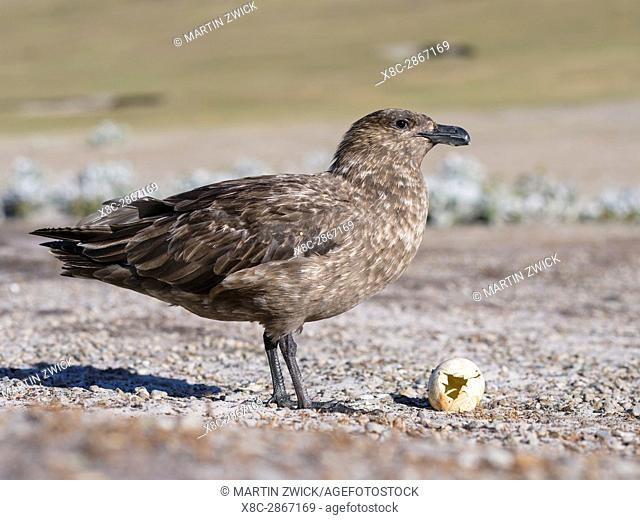 Falkland Skua or Brown Skua (Stercorarius antarcticus, exact taxonomy is under dispute), feeding on an egg of a Gentoo Penguin