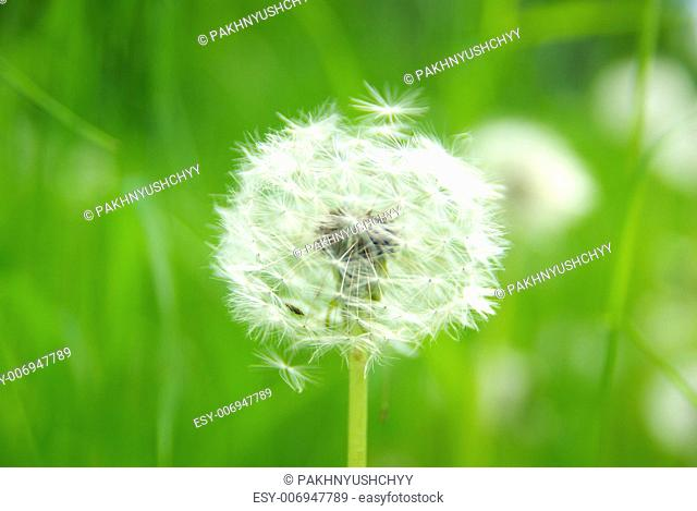 Close up of a dandelion on green