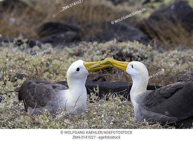 The courtship behavior (rapid bill circling ) of a waved albatross (Phoebastria irrorata) pair at the nesting colony on Hood Island (Espanola Island) in the...