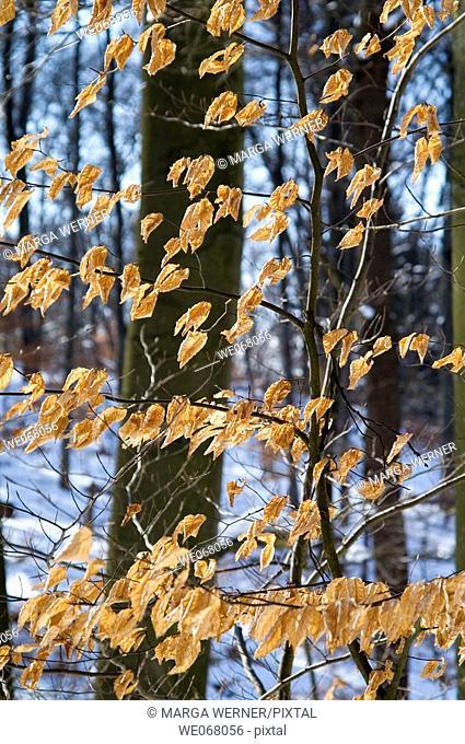Sere beech leaves (Fagus sylvatica) in winter. Schleswig-Holstein, Germany