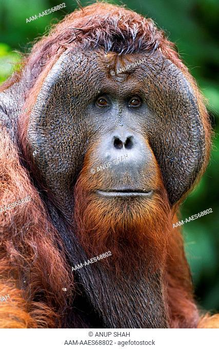 Bornean Orangutan mature male 'Tom' head and shoulders portrait(Pongo pygmaeus wurmbii). Camp Leakey, Tanjung Puting National Park, Central Kalimantan, Borneo
