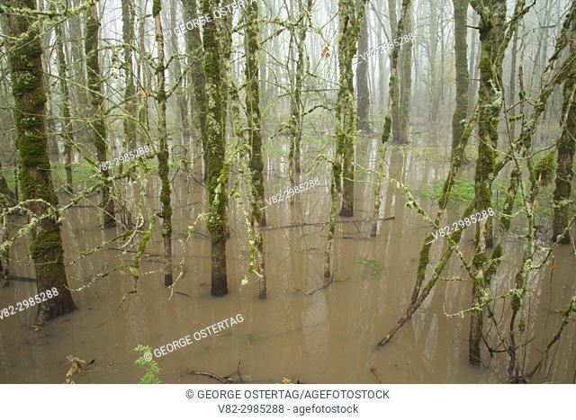 Oregon ash forest along Rail Trail Boardwalk, Ankeny National Wildlife Refuge, Oregon