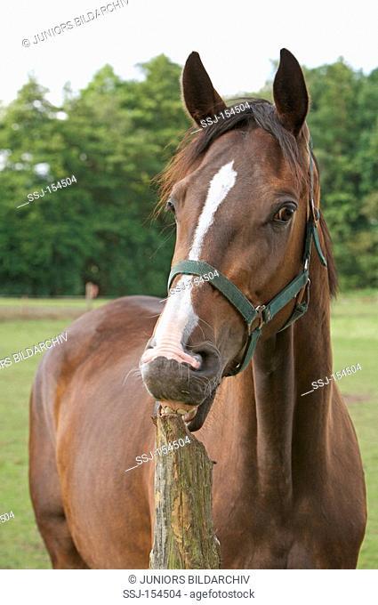 Westphalian horse - cribbing