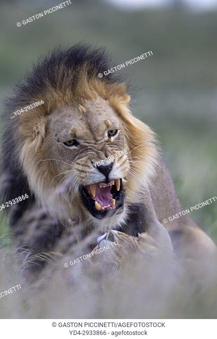 African lion (Panthera leo) - Male and female, in the bush, Kgalagadi Transfrontier Park, Kalahari desert, South Africa/Botswana
