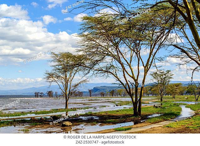 Greater flamingo (Phoenicopterus roseus). Lake Nakuru. Nakuru. Great Rift Valley. Kenya