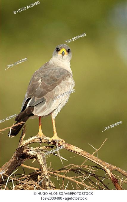 Eastern Chanting-Goshawk. Melierax poliopterus. Tarangire. Tanzania